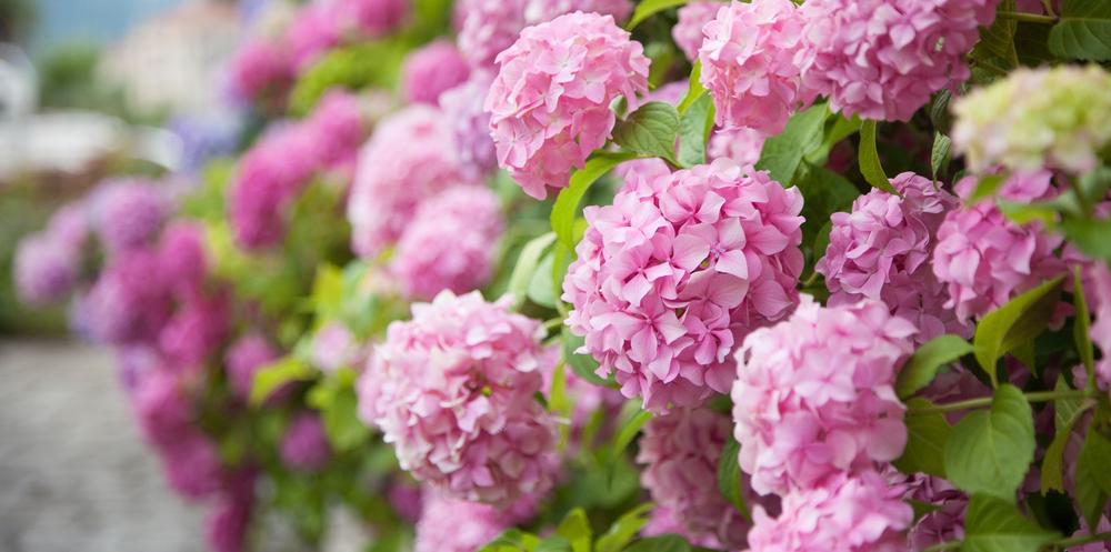 rimedi floreali - ortensia