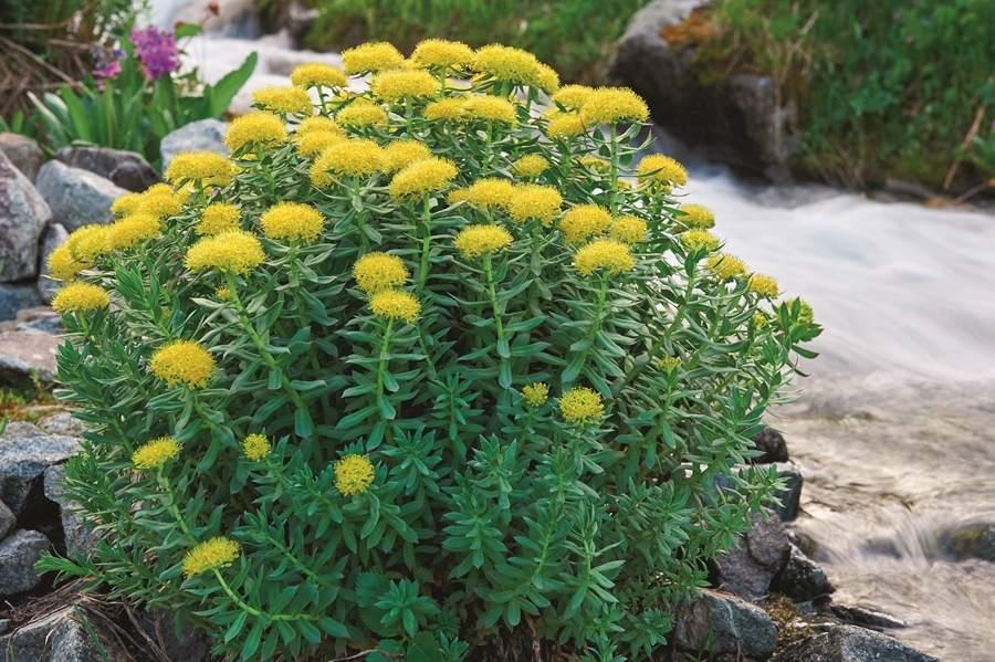 pianta di rodiola o rhodiola