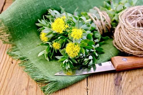 fiore di rodiola o rhodiola