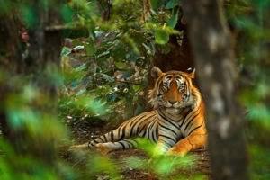 tigre animale selvatico nei sogni